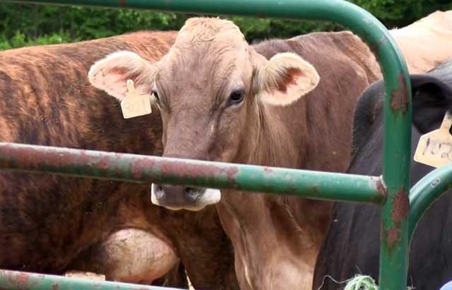 Можно ли есть мясо коровы решают специалисты