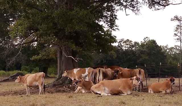 У каждой коровы индивидуальный организм
