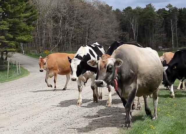 Молодых коров нужно держать отдельно от взрослых