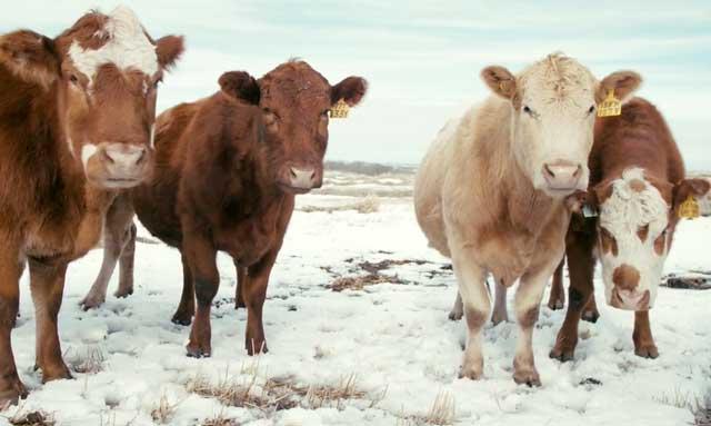Употреблять субпродукты от зараженной коровы нельзя