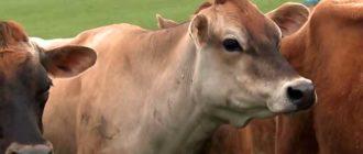 Своевременное лечение спасет жизнь коровы