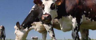 Качество молока зависит от здоровья коровы
