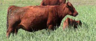 При хорошем исходе корова после родов встает через двое суток