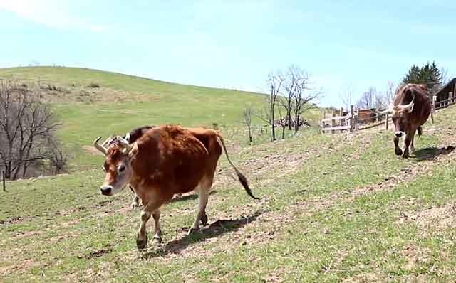 Матка у коровы может воспалиться и по другим причинам