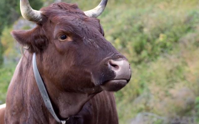 Соблюдение санитарных норм спасет коров от заражения