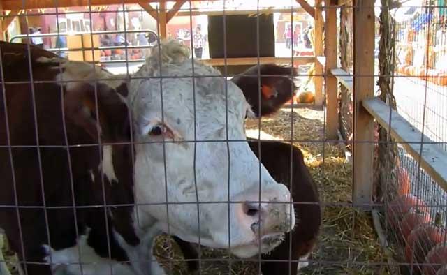 Коровники подлежат периодической дезинфекции