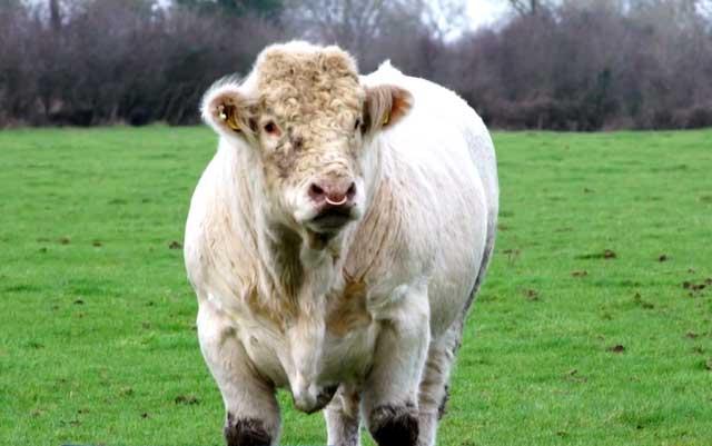 Яловая корова что это описание проблемы