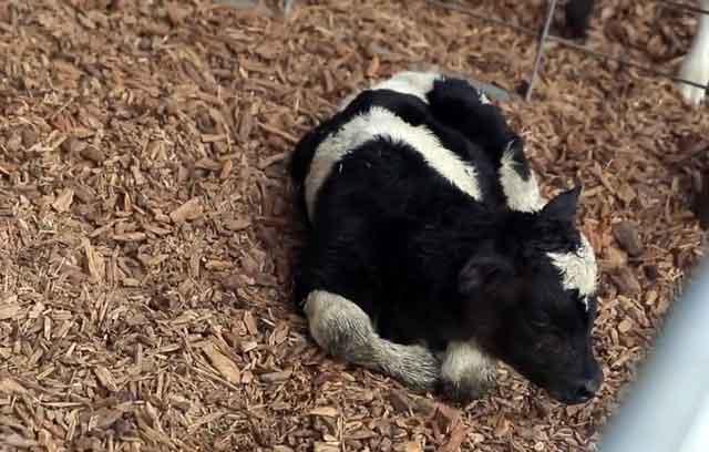 Заболевший теленок отказывается от еды