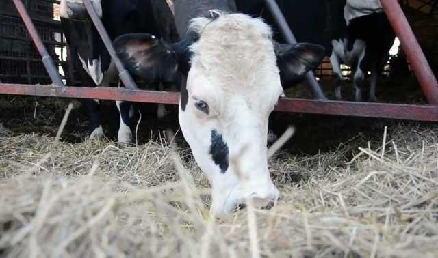 С помощью внутривенного метода отбираются животные на убой