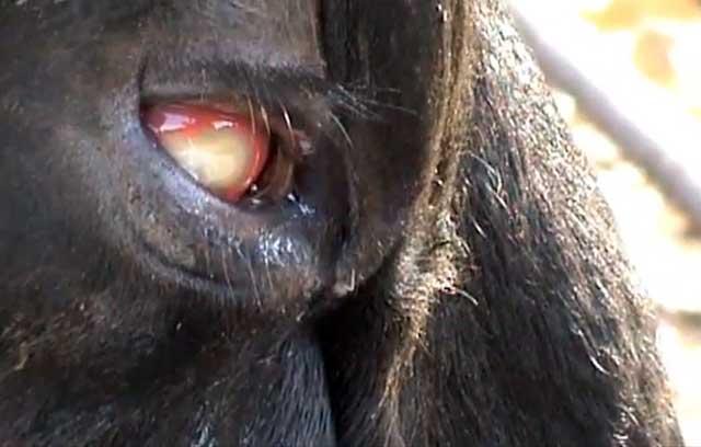 Глаза коровы, почему у коровы красные глаза (фото и видео)