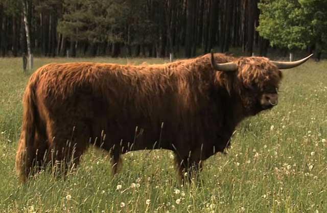 Подойдут только не племенные бычки