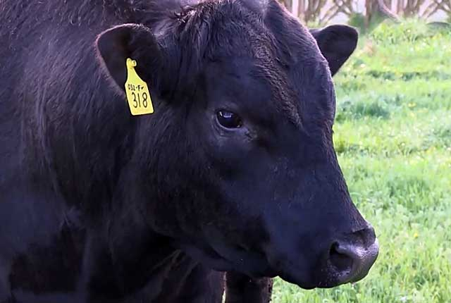 Абердин-ангусская корова