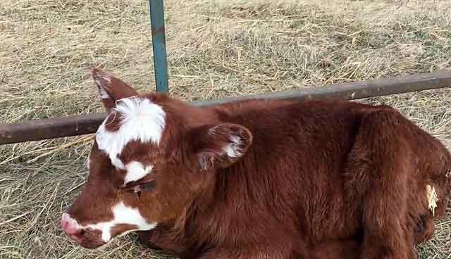 история болезни диспепсия у теленка