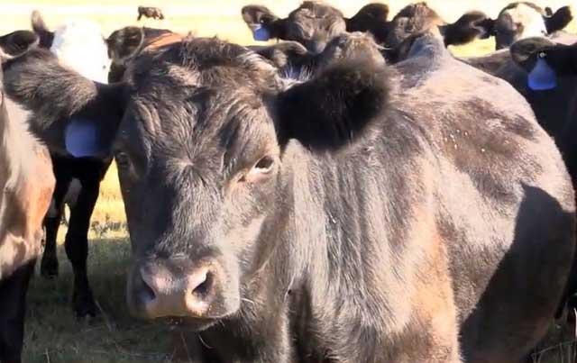 Плохие условия содержания могут отразиться на здоровье коров