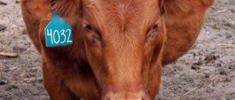 Молочные коровы очень спокойные