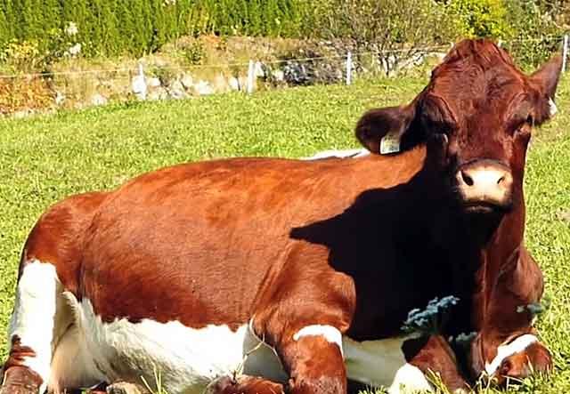 Беременная корова