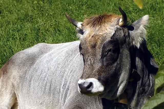 Не осеменяйте нездоровых животных