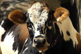 Способы определения стельности коровы