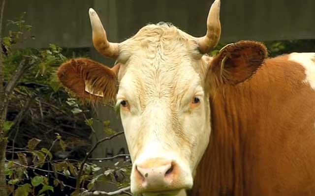 Быстрое воспроизводство стада принесет немалый доход