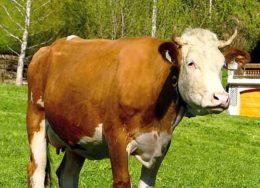 Гнойный мастит у коровы