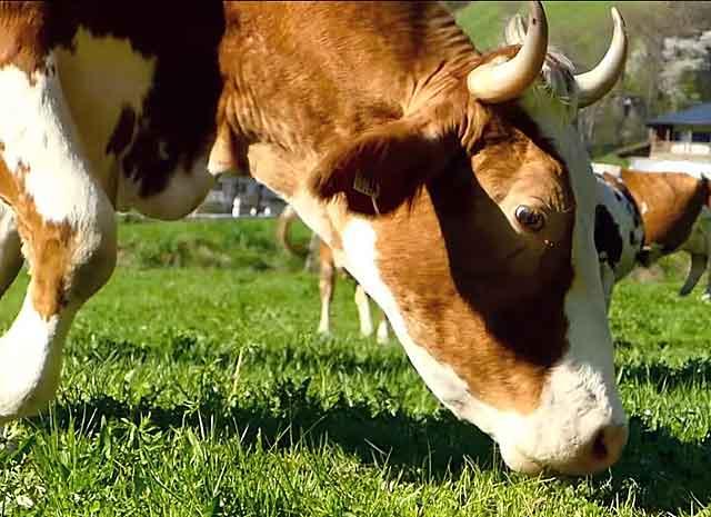 Рацион скота должен быть сбалансированным