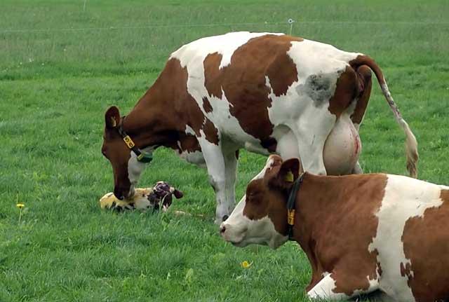 Корова вылизывает теленка