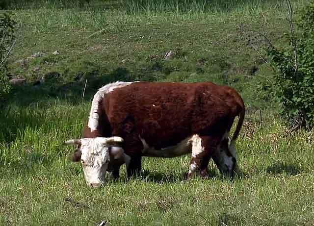 Корова пасется