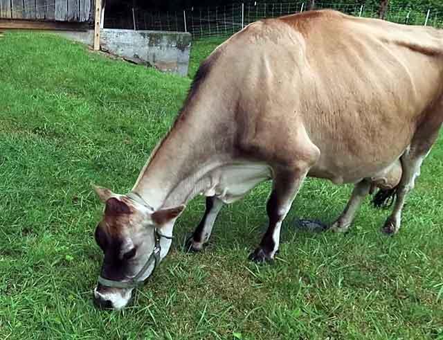 Изолируйте от стада самок с воспалением половых органов