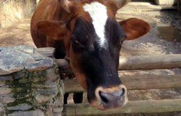 Станки и оборудование для осеменения коров
