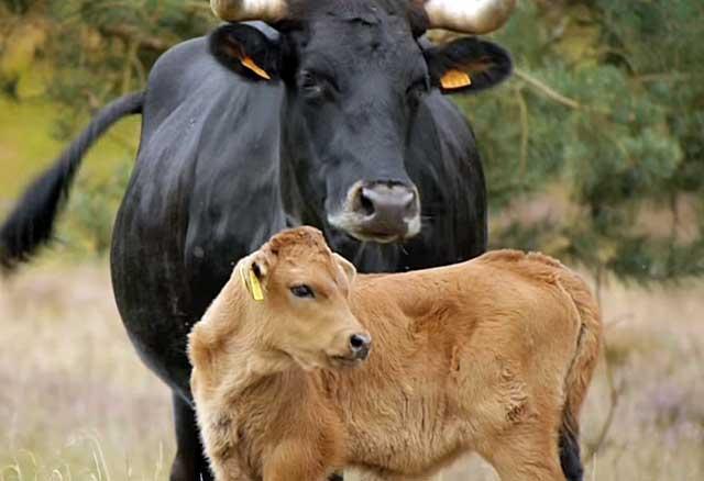 Буренка с теленком
