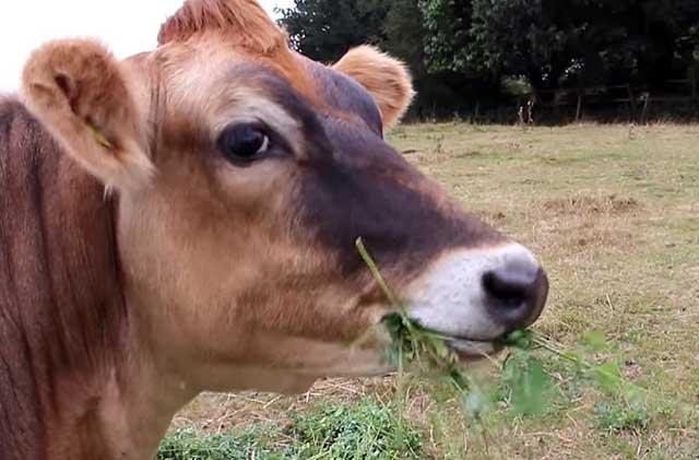 Буренка жует траву