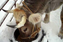 Календарь отела коров с таблицей