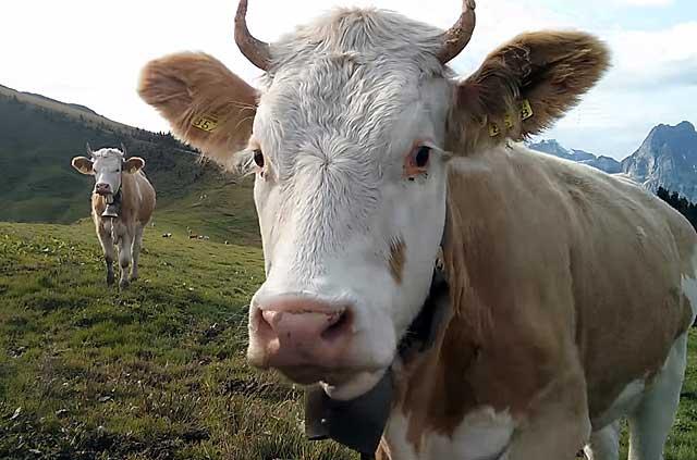 Размножение коров увеличивает мясо-молочную продуктивность