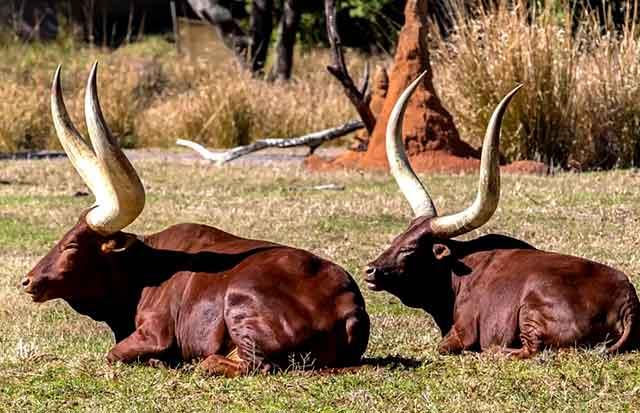Порода ватусси - потомки диких коров