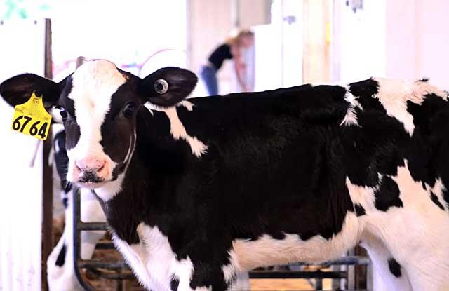 В теплом климате больше дают молока