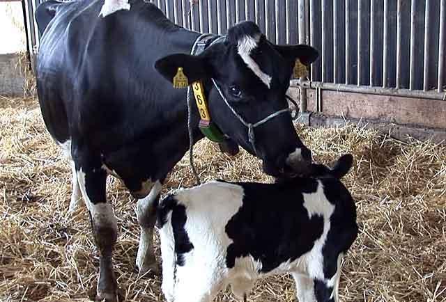 Молочные породы коров не любят много ходить