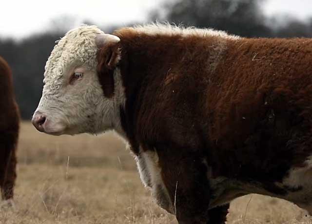 У этих коров очень жирное молоко