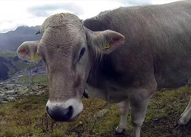 Бурая корова мясо-молочного направления