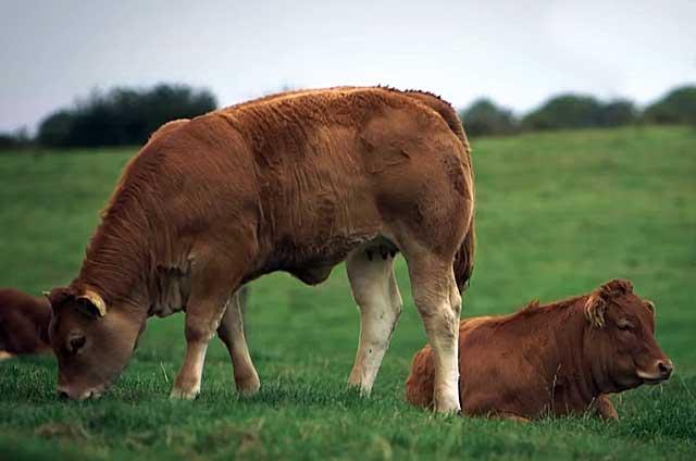 Выращиваются ради превосходного мяса