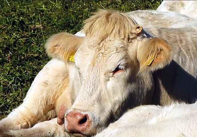 У бычков постное мясо