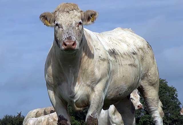 Шаролезский мясной вид