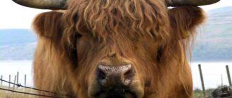 Хайленд порода коров родим из Шотландиии
