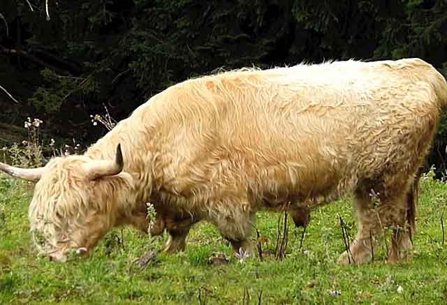 У высокогорных коров отличный иммунитет