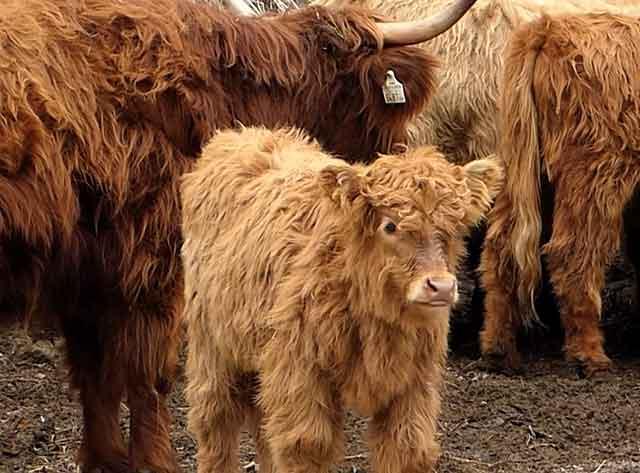 Мохнатые коровы любят просторные загоны