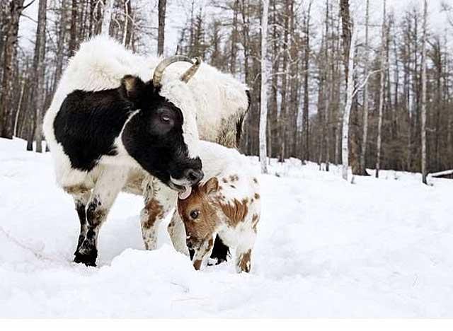Мохнатая якутская с теленком