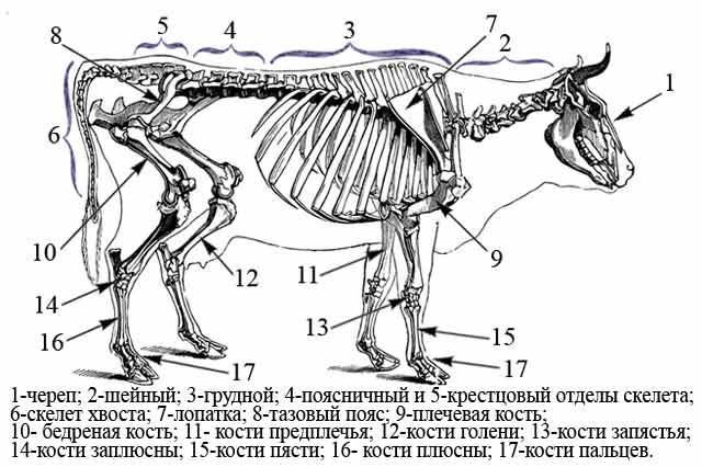 Схема скелета