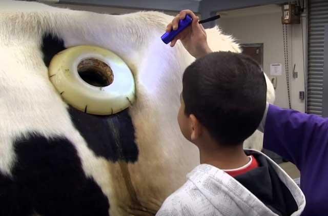 Корова с клапаном-фистулой в боку