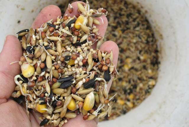 Зерновой корм