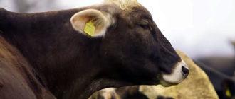 Животное съевшее плаценту может заболеть