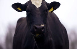 Как раздаивать корову после отела